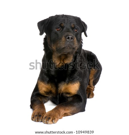 rottweiler (3 years) in front of a white background - stock photo