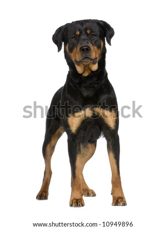 rottweiler (2 years) in front of a white background - stock photo