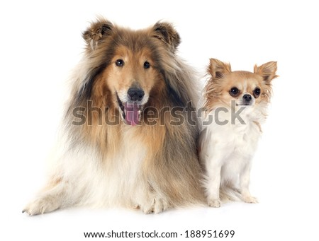 rough collie and chihuahua in front of white background
