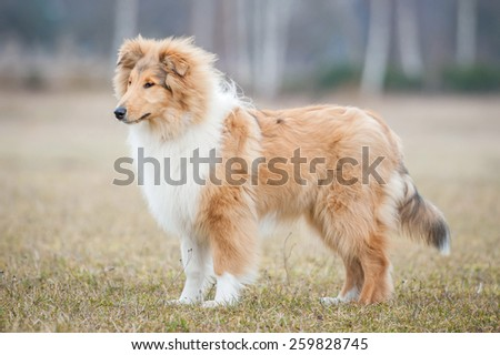 Rough collie dog in spring