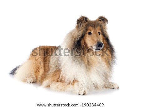 rough collie in front of white background