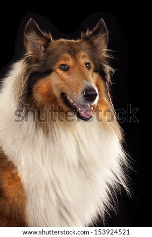 Rough Collie isolated over black background