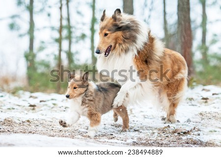 Rough collie mother playing with puppy in winter - stock photo