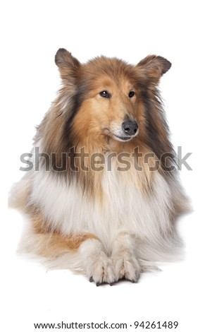 Rough Collie or Scottish Collie in front of a white background