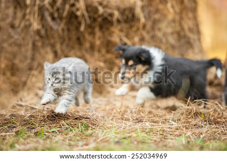 Rough collie puppy running behind little grey kitten - stock photo