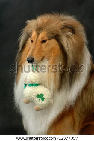 Rough collie with sheep - stock photo