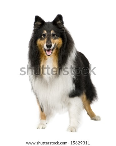 Rough Collie (9 years) in front of a white background - stock photo