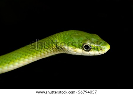 Rough Green Snake Isolated on Black