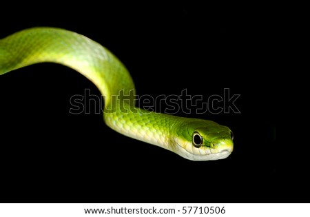 Rough Green Snake Isolated on Black - stock photo