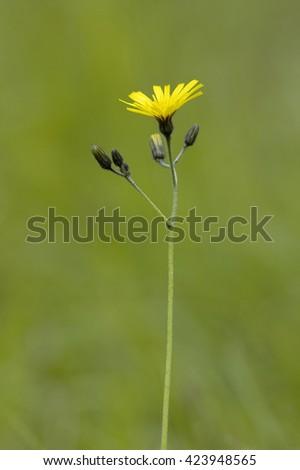 Rough Hawksbeard - Crepis biennisGrassland Wild Flower - stock photo