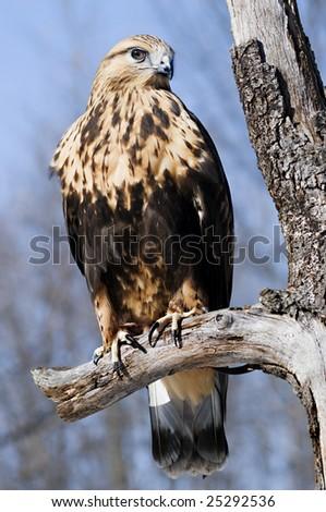 Rough Legged Hawk - stock photo