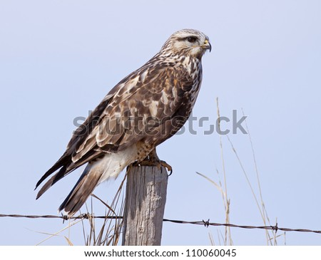 Rough-legged hawk on a fencepost.