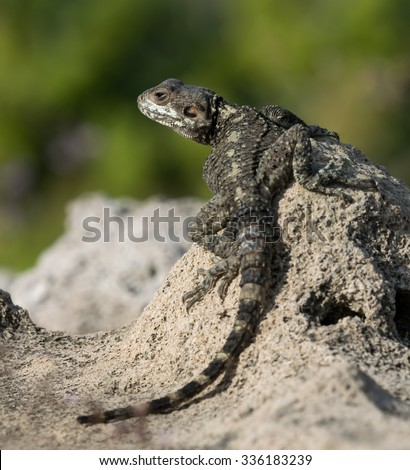 Roughtail Rock Agama Lizard Closeup