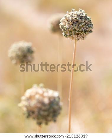 Round dry flower - stock photo