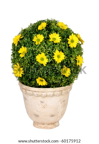 Round flowering bush in pot - stock photo