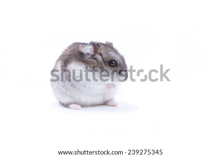 round fluffy hamster sitting on his hind legs and stares one eye on a white background - stock photo