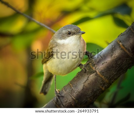 round flycatcher sits on the tree, closeup - stock photo