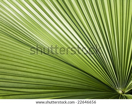 Round-Leaf Livistona palm close-up - stock photo