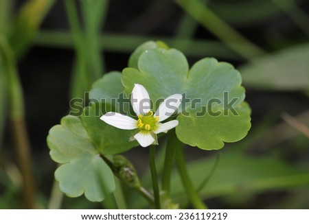 Round-leaved Crowfoot - Ranunculus omiophyllus