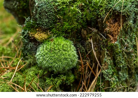 Round moss on a tree stump - stock photo