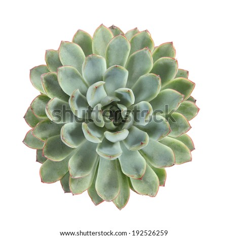 round succulent top isolated on white background - stock photo