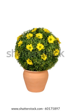 Round yellow flowering bush in pottery pot - stock photo