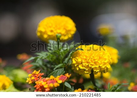 Round Yellow Marigold Flowers Isolated with Blurred Background - stock photo