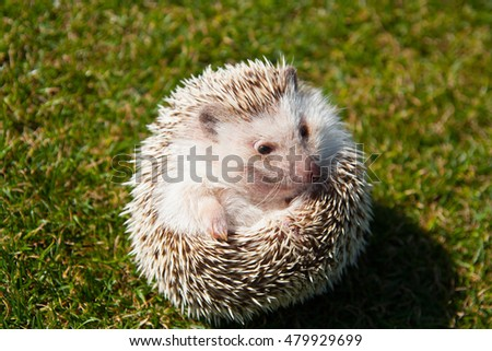 Rounded hedgehog on the lawn