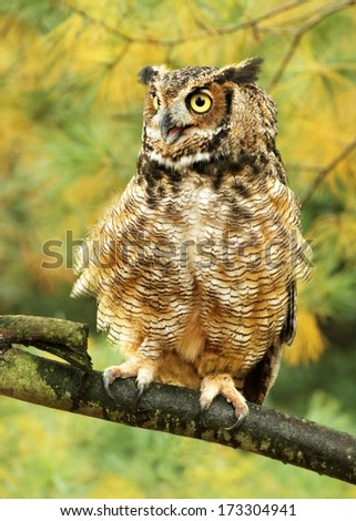 Roused up Great Horned Owl - stock photo