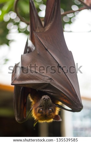 Rousette hanging upside down and closed his brown wings - stock photo