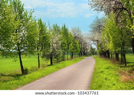 Route through the alley of blooming trees in the spring season