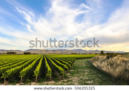 Row and curve of beautiful grape yard before sunset with mountain in Blenheim, New Zealand