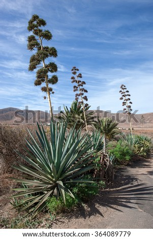 Row of blooming agave on Fuerteventura, Canary Islands, Spain.