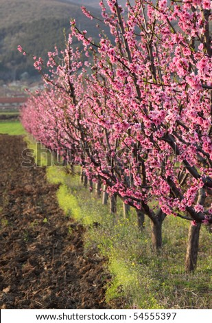 Row of blooming peach trees in a spring orchard - stock photo