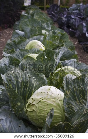 Row of cabbages in a traditional Victorian kitchen garden - stock photo