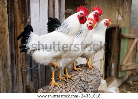 Row of chickens and cocks with selective focus
