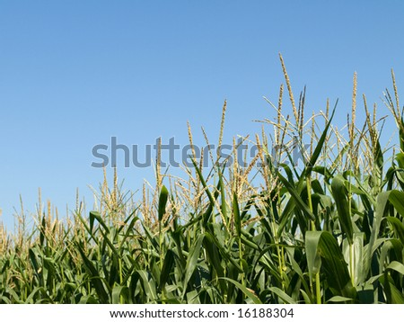 Row of corn crop at summer with flowers on top