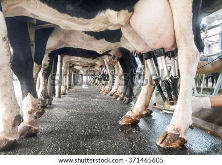 row of cows being milked - stock photo