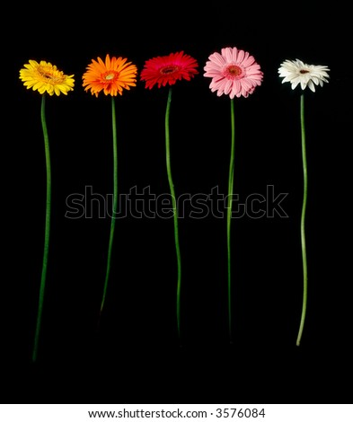 Row of Daisies on black - stock photo
