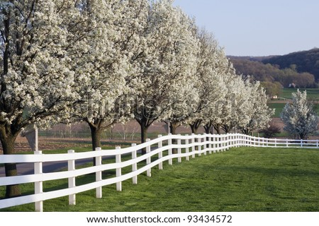Row of Dogwood Trees blossoming in spring season. - stock photo