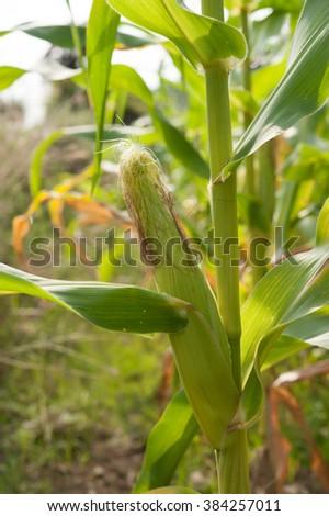 row of ears mature corn - stock photo