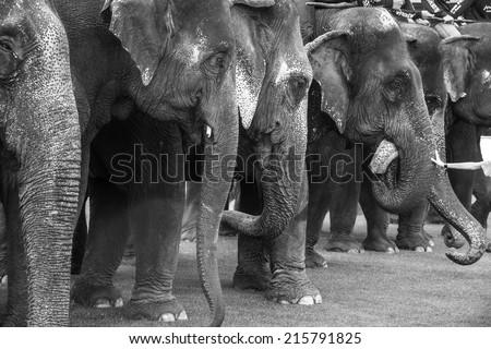 row of elephants - stock photo