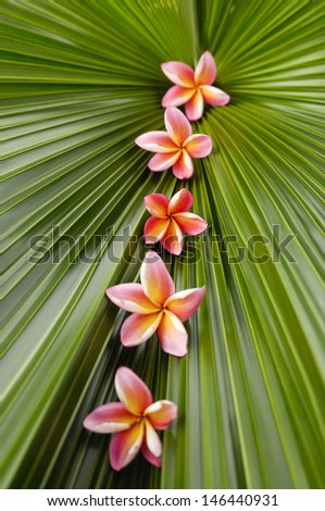Row of five pink frangipani on palm leaf - stock photo