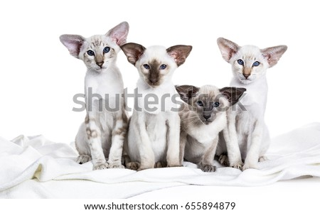 row of four siamese kittens sitting on a white blanket on a white background looking at the camera