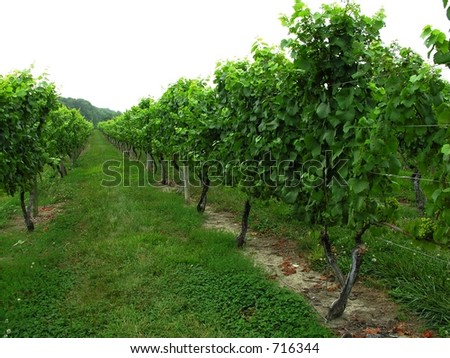 Row of grape vines.