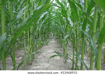 Row of green corn (maize) growing in the field - stock photo