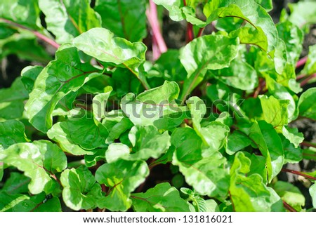 Row of green young beet sprouts - stock photo