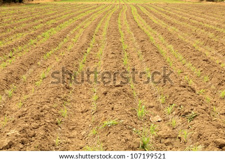 Row of new plant corn on plow land