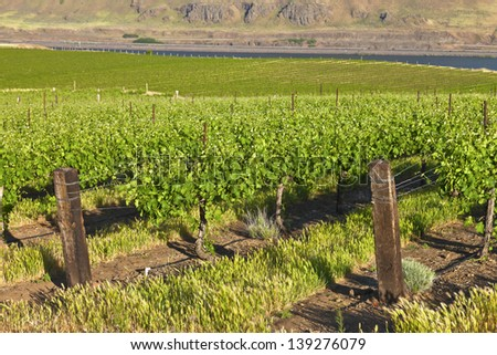 Row of new vines in a vineyard in the Columbia river gorge OR. - stock photo
