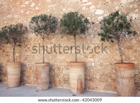 Row of olive trees in urns - stock photo